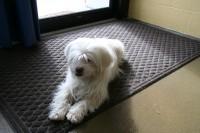 Rocky, adoptable Lhasa Apso