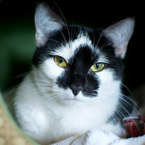 Danielle, cat with tuxedo markings