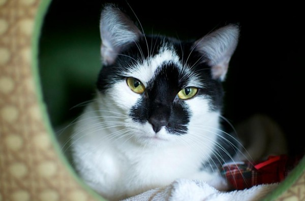Danielle, cat with tuxedo markings