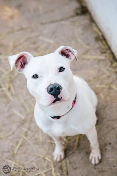 Chere,  white pitbull