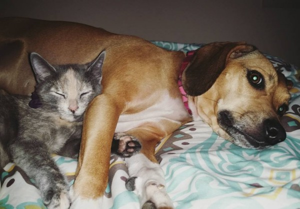I finally got a picture of these two together!! In February 2014 we adopted Stella the beagle mix from Pets Come First. She is the sweetest and most caring dog I have ever met. Three weeks ago we adopted Nova the kitten. Stella thinks she is her momma.